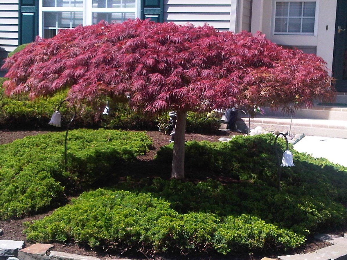 Is your Japanese Maple a Cousin It?
